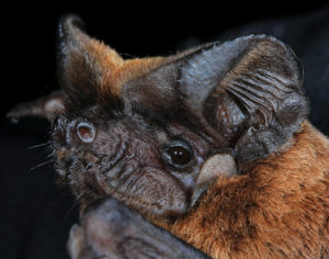 In a control site to the east of the mine, the population composition is dominated by Serotine's bats. Image credit: Dawn Cory Toussaint